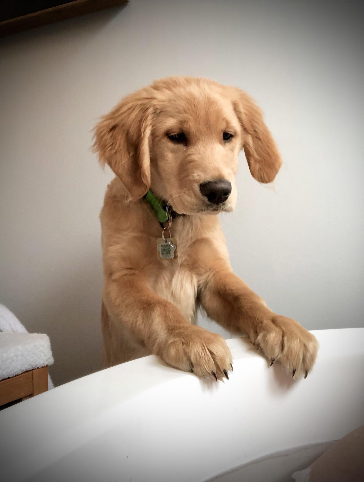 47 Adorable Golden Retriever Mix Breeds Pet