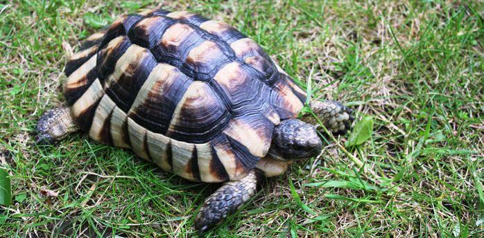 Marginated Tortoise For Sale Tortoise Habitat Tortoise Tortoises