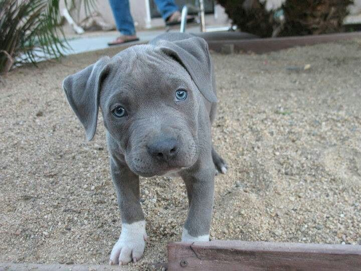 Cute Blue Nose Puppy Blue With White Socks Adorable Pitbulls