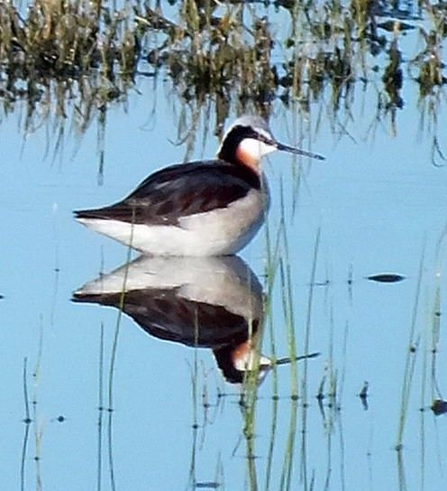 The Wilson's Phalarope (Phalaropus tricolor) is a small wader. This bird, the largest of the phalaropes, breeds in the prairies of North America in western Canada and the western United States. It is migratory, wintering in inland salt lakes near the Andes in Argentina.