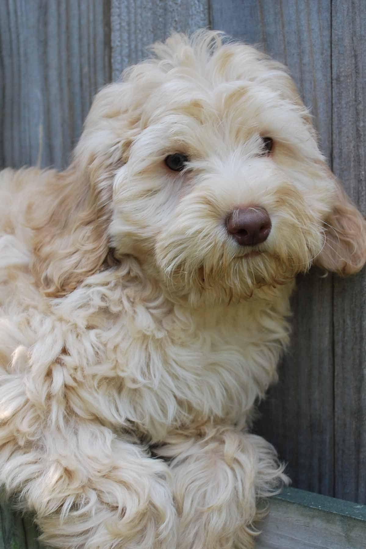 Australian labradoodles australian labradoodle puppies