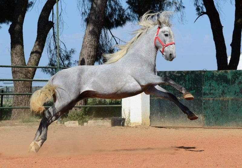 PRE Faraon. I didn't know what PRE meant. The Andalusian, also known as the Pure Spanish Horse or PRE (Pura Raza Española), is a horse breed from the Iberian Peninsula, where its ancestors have lived for thousands of years. I love the color on this horse!
