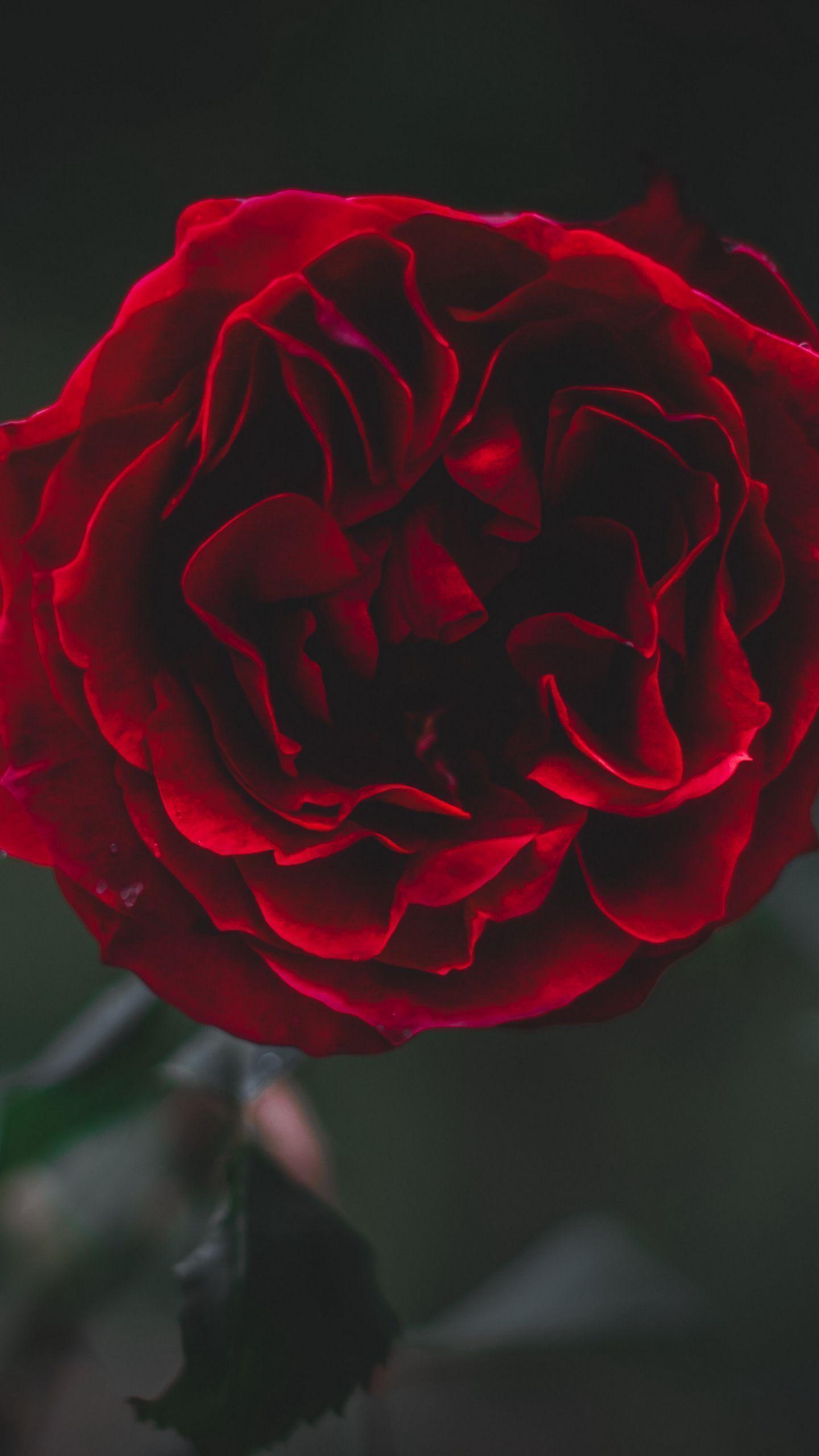 List of Good Black Wallpaper Iphone Dark Rose for iPhone 11 Pro 2020