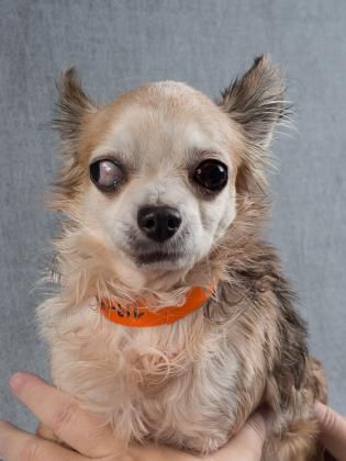 Petango Com Meet Nathan 8y 11m Chihuahua Long Coat Available For Adoption In Colorado Springs Co
