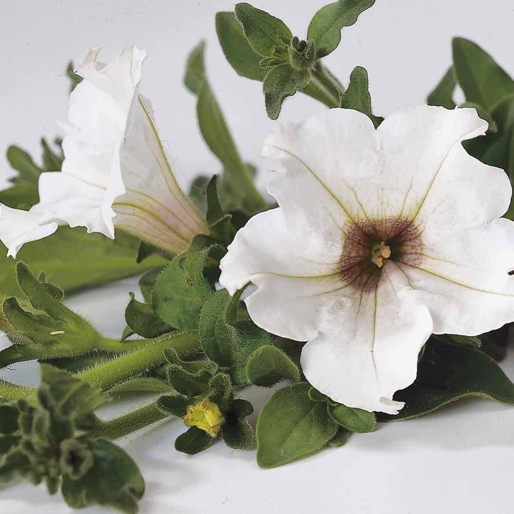 Petunia Trailing Surfinia White Thompson Morgan The No 1
