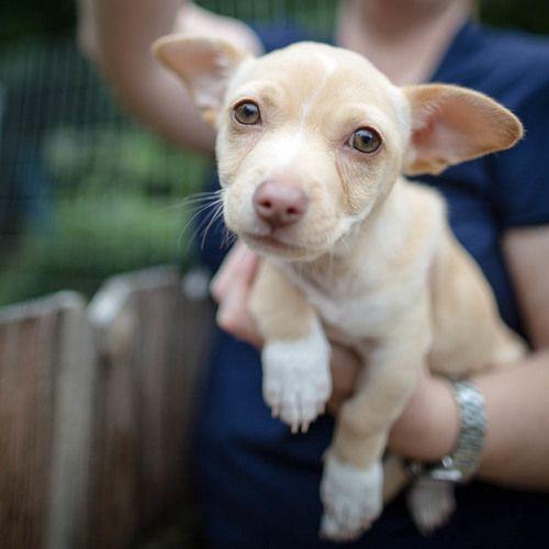 Adopt Waylon On Petfinder Chihuahua Mix Puppies Corgi Chihuahua Mix Cute Animals