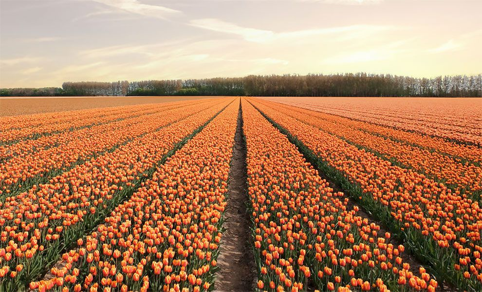 The Netherlands When All 7 Million Tulips Bloom At Once Ego Alterego In 2020 Million Flowers Tulips Netherlands