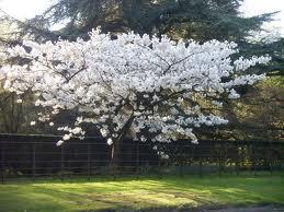 Prunus Shirotae White Flowering Trees Spring Flowering Trees Prunus