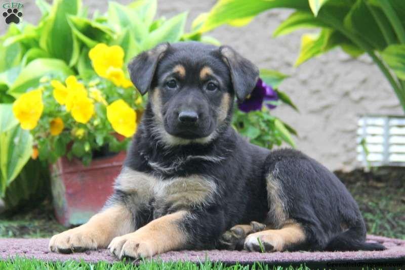 Sara German Sheprador Puppy For Sale In Pennsylvania Pets