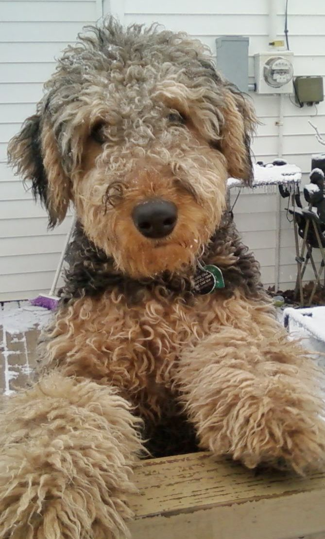 My Oorang Airedale Lucy Airedale Dogs Airedale Terrier Puppy Friends