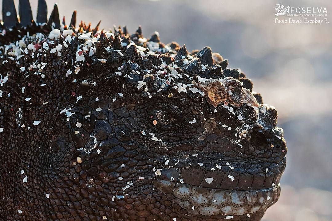 "NEOSELVA.COM @neoselva @paolo_mars Godzilla Portrait!!! The Galapagos Marine Iguana (Amblyrhynchus cristatus), a wonderful endemic species from the best place, the Enchanted Islands.  Godzilla Portrait!!! La Iguana Marina de Galápagos (Amblyrhynchus cristatus), una increíble especie endémica del mejor lugar, las ""Islas Encantadas"". #Neoselva #ecuador #photography #conservation #Paolomars #wildlifephotography #wildlife_perfection #thegoodquote #savetheplanet #natureisspeaking #naturelovers…"