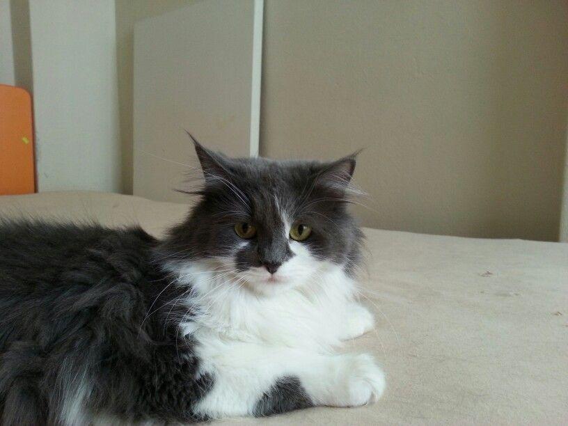 İpek, mycat, greycat, kedi, kitty, cat