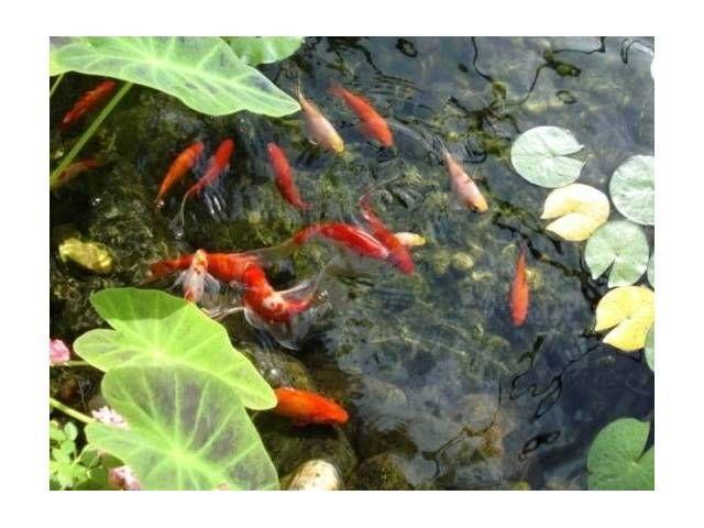 Estanque de peces goldfish y 3 peque as carpas koi para for Estanque peces koi