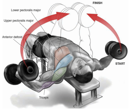 the chest muscle training plan  chest workout for men