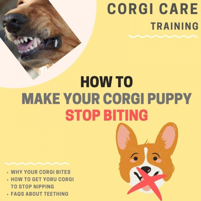 How To Stop Your Corgi Puppy From Biting 6 Ways That Work 2 Corgi Puppy Puppy Biting Puppies
