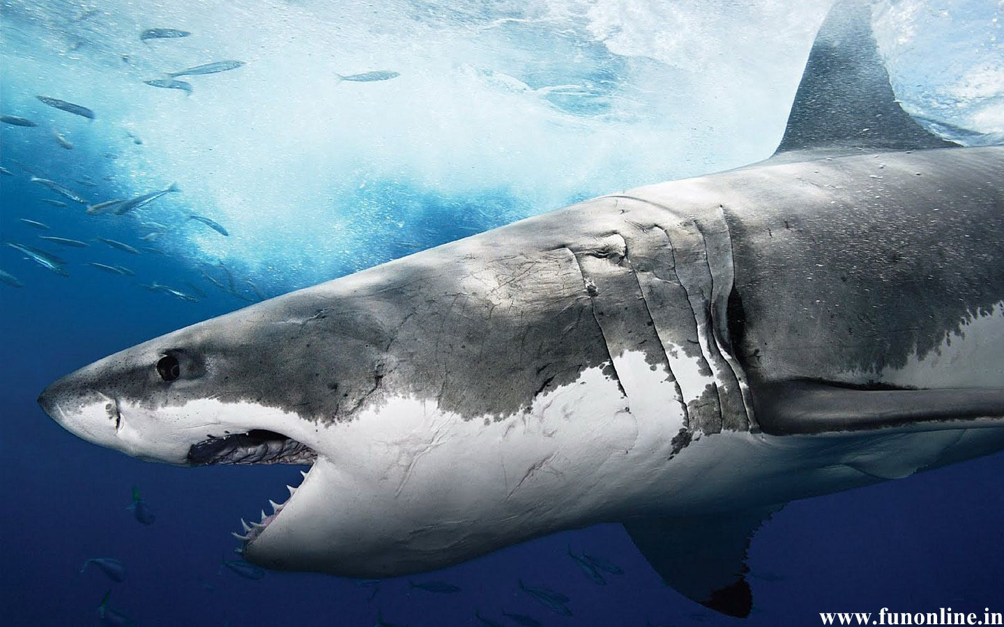 Great White Sharks Second Edition: Kids Book of