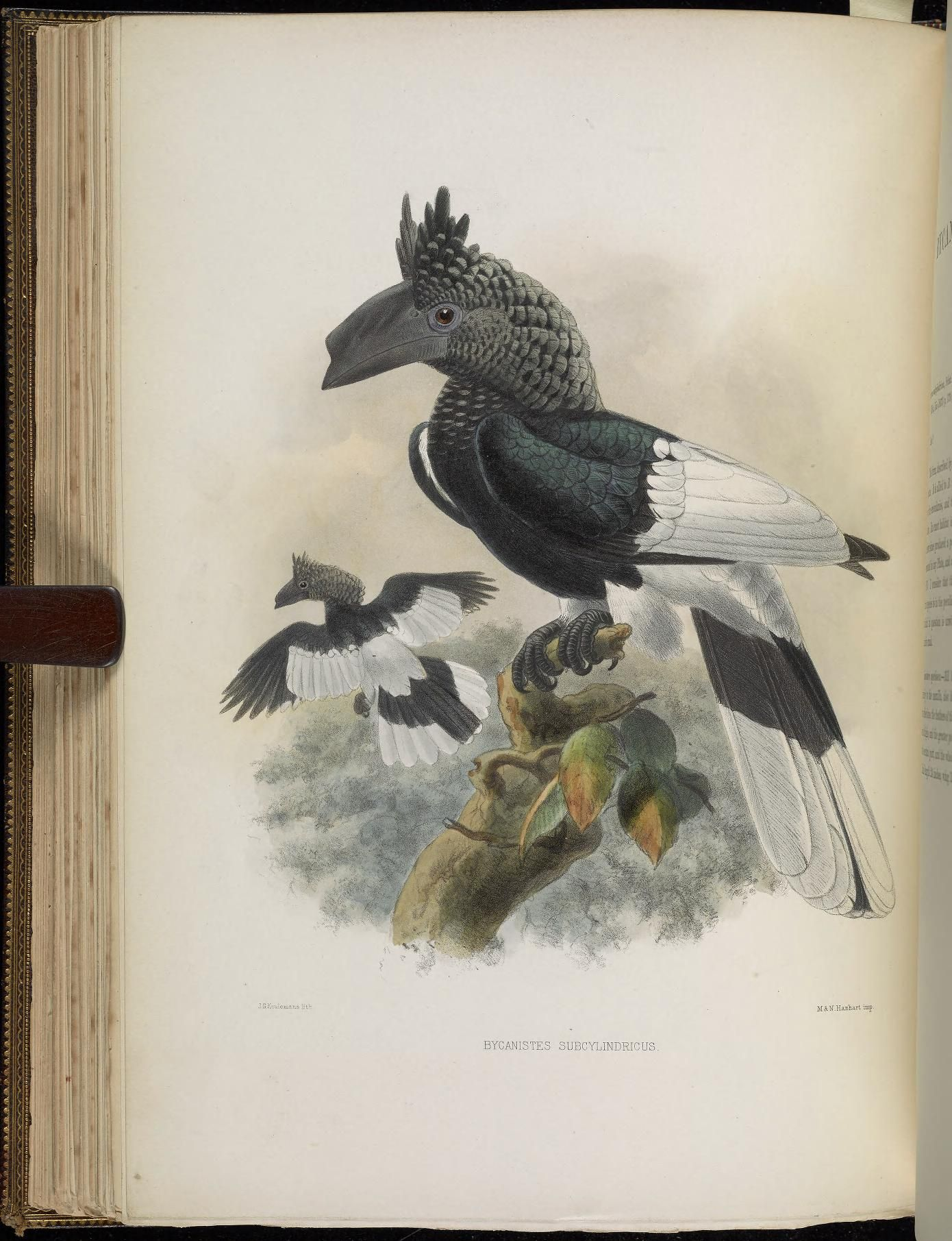 A monograph of the Bucerotidæ, or family of the hornbills.  by David G Elliot, 1882 - Biodiversity Heritage Library  --  very prehistoric looking bird