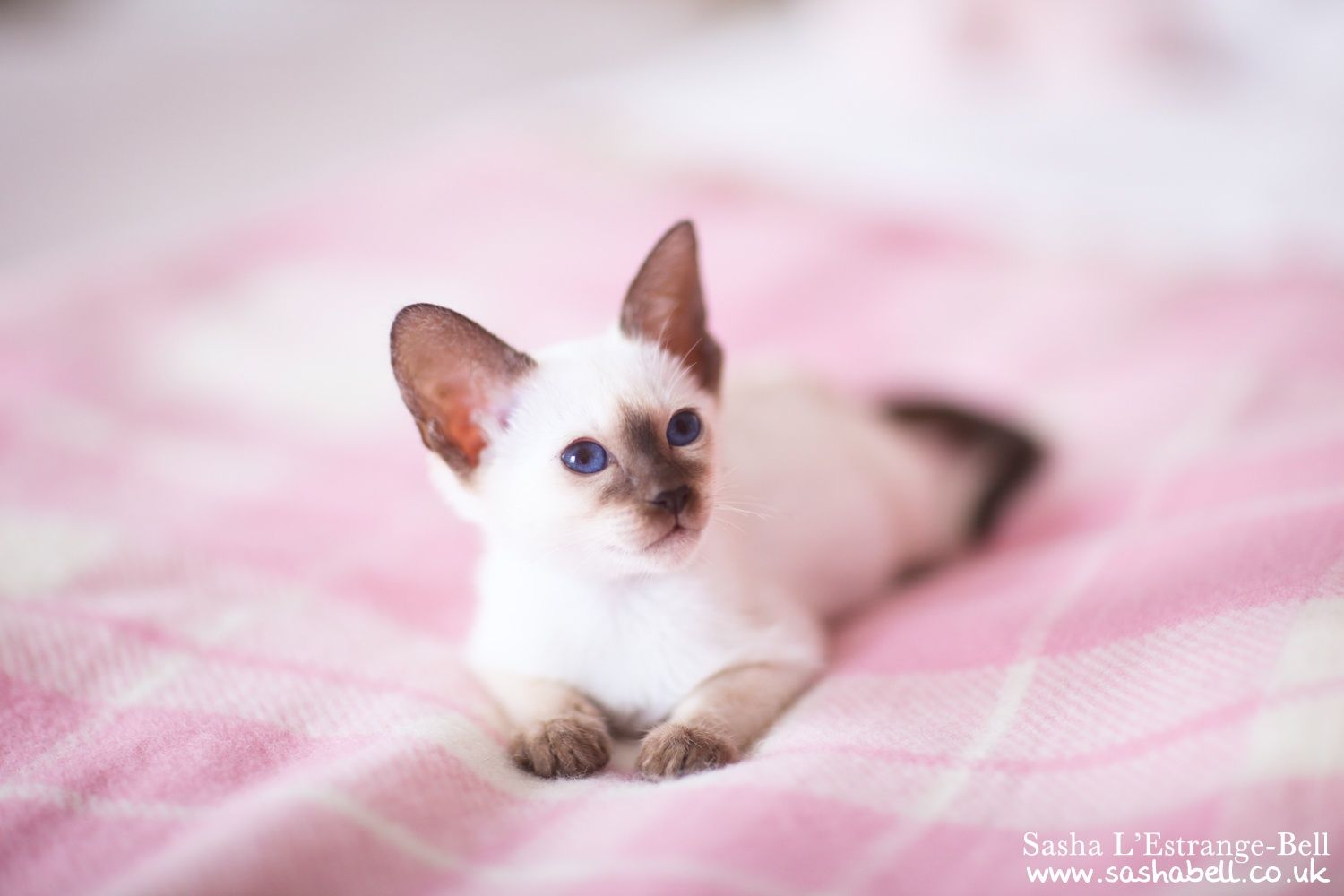 Twinkle Toes By Sasha L Estrange Bell On 500px Siamese Kittens