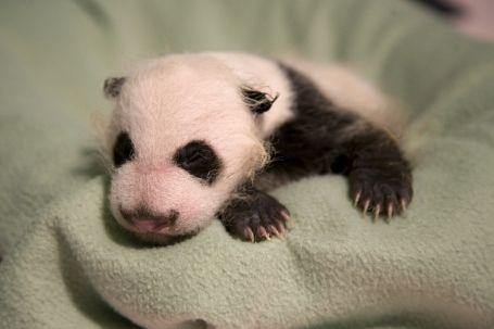 Hello World! Baby Panda Makes His Debut at Zoo Atlanta #babypandas