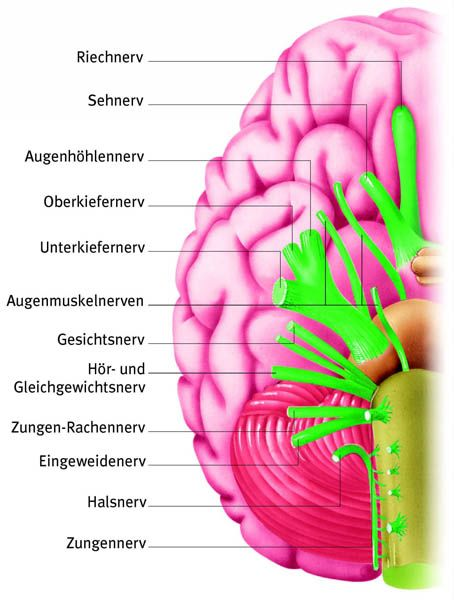 Hirnnerven | Medizin | Pinterest | Medizin, Anatomie und Gesundheit