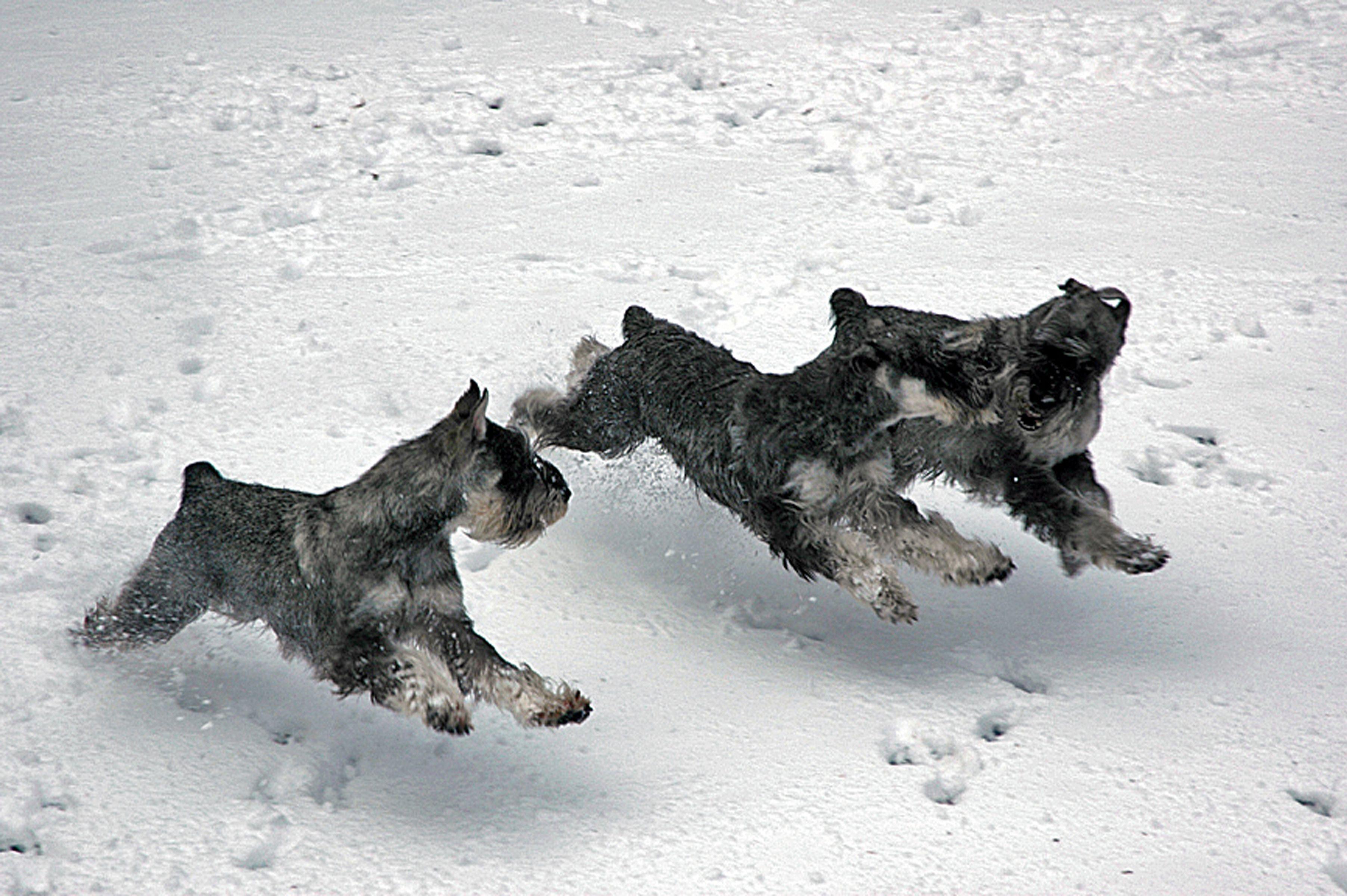 Ch Dinsdale S Captain Tempete Cgn Champagne Standard Schnauzers Schnauzer Puppy Schnauzer Crazy Dog Lady