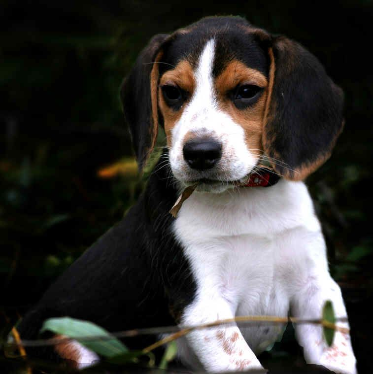 Beagle Hound Photo Beagle Pocket Teacup Beagles Information