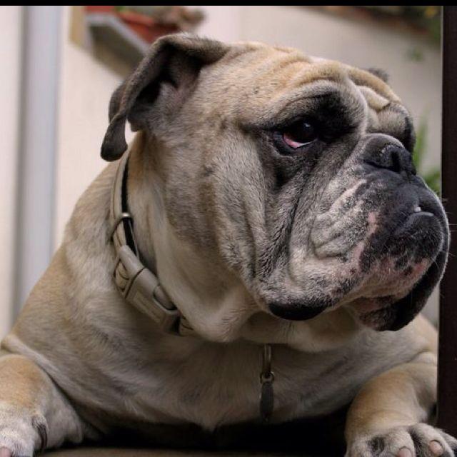 Dana #bulldog