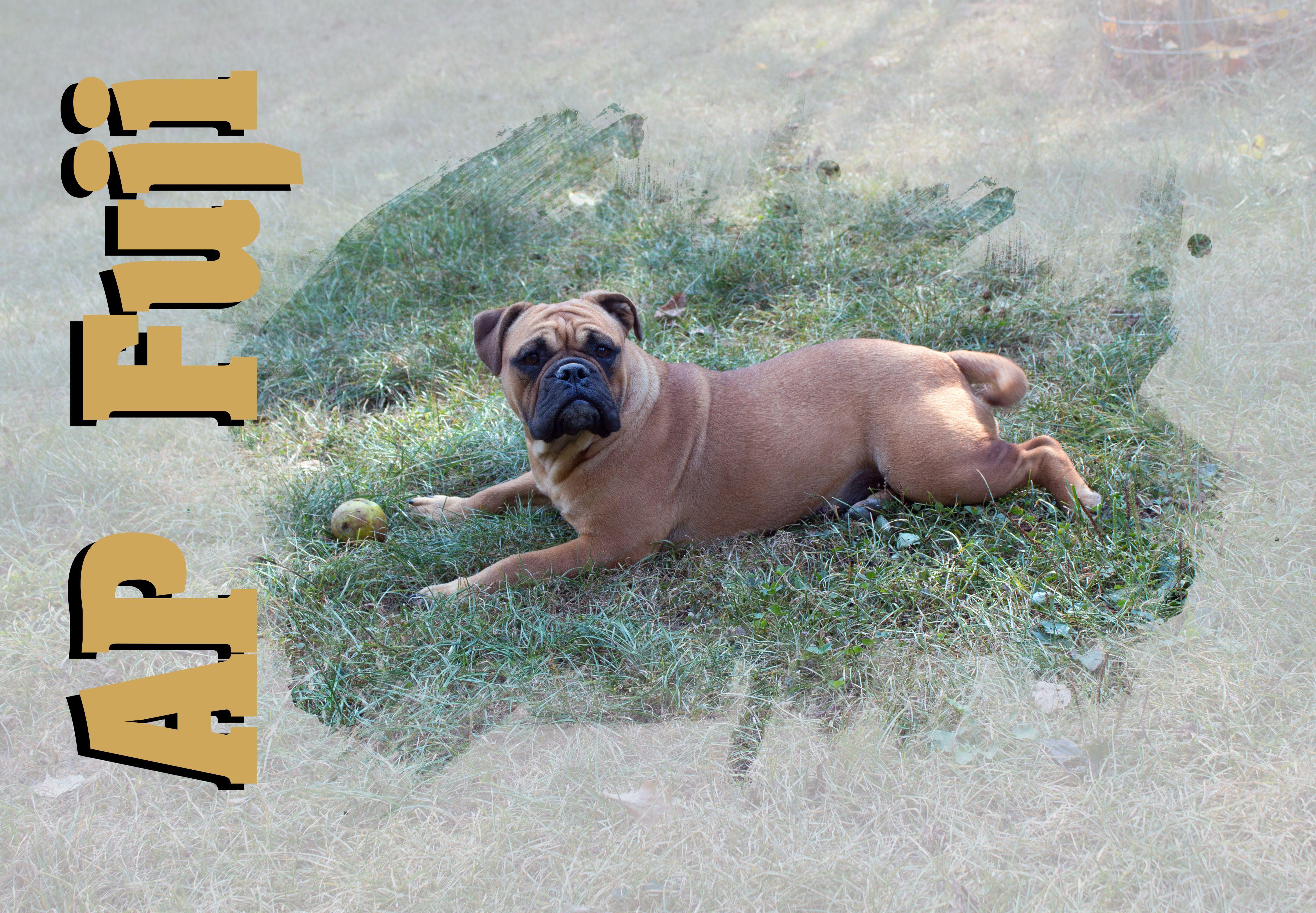 Ap Fuji Ap Bronson X Ap A Billion Baby Continental Bulldog Bulldogge Welpen