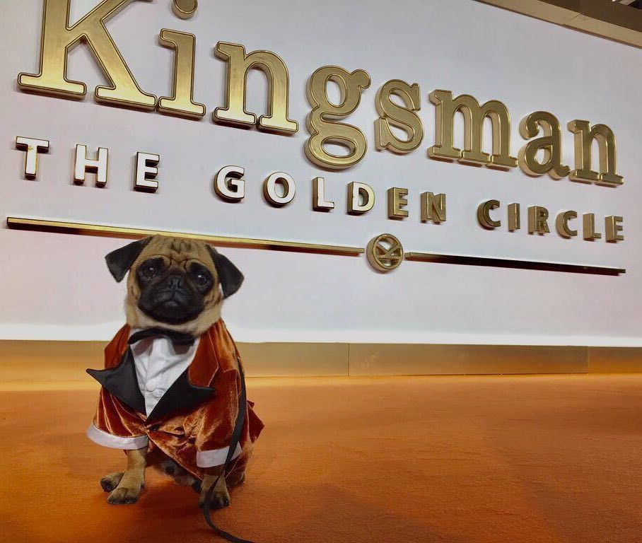 The Pug Who Played Eggsys Puppy In The First Kingsman Movie