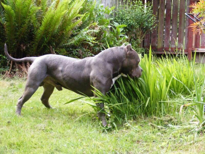 Bossy Kennels Pitbulls American Pitbull Terrier Blue Nose Pitbull