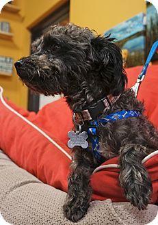 Memphis Tn Poodle Miniature Mix Meet Branson A Dog For