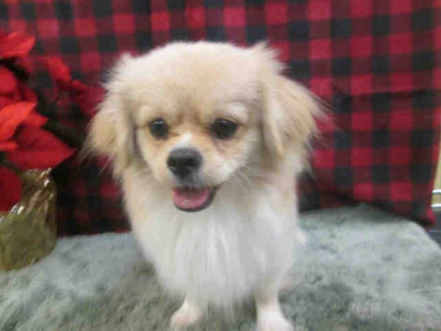 My Name Is Joey And I Am An Unaltered Male Cream And White