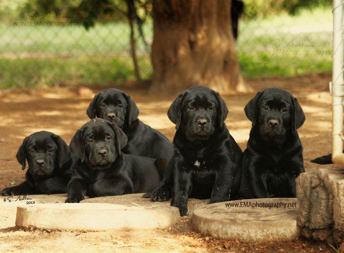 Dickendall Labrador Puppies Texas Texas Labrador Puppies Texas