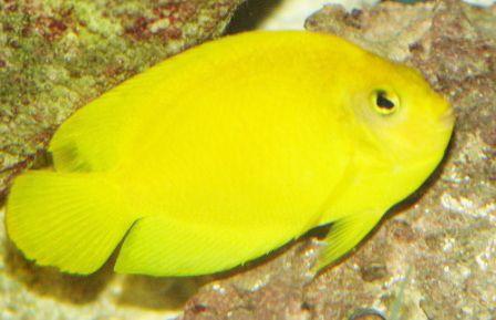 Centropyge heraldi -  Yellow angelfish