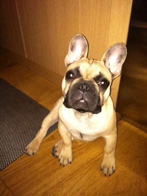Boomer From Nyc Bulldog French Bulldog Cute Animals