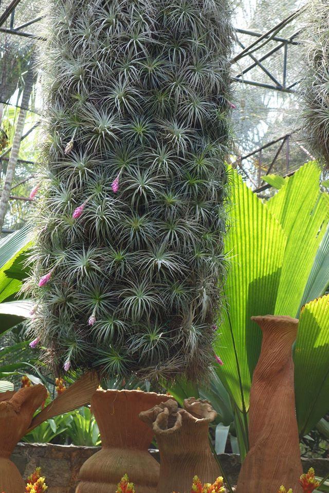 Tillandsias Brachycaulos Abdita and Multiflora