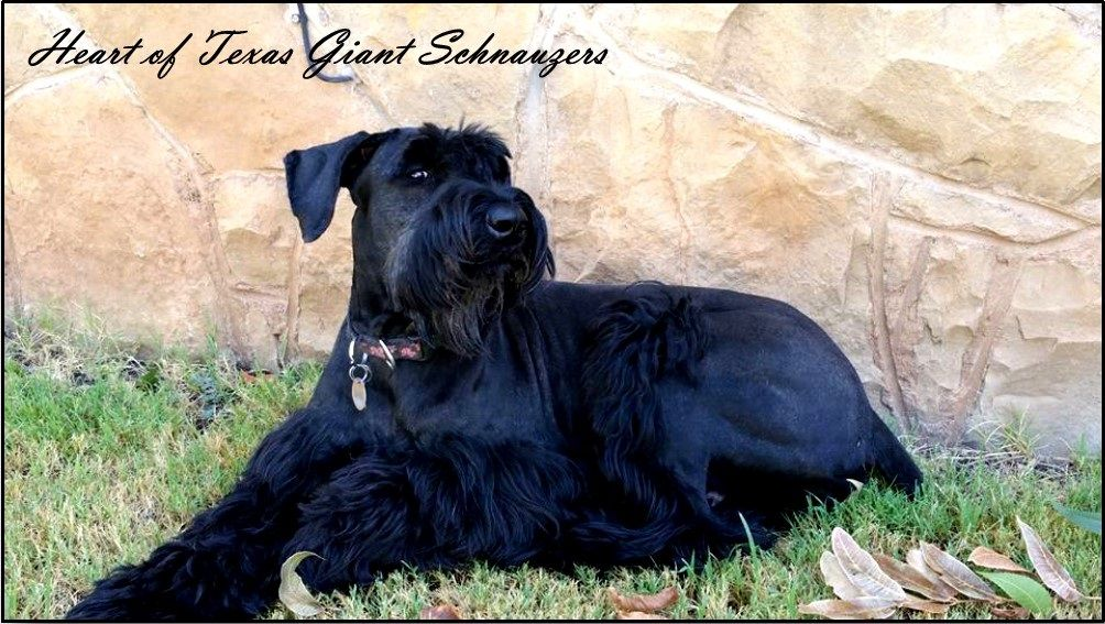 Pin By Sara Hood Repins On Giant Schnauzers Giant Schnauzer Breeders Giant Schnauzer Giants