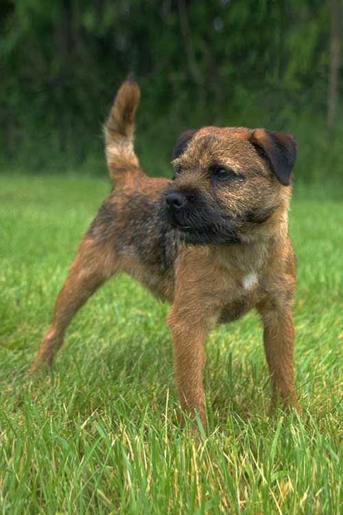Border Terrier Dog Breed Information Every dog breed