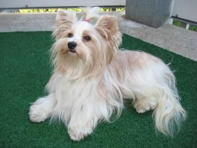 Petyourdog Com Pet Your Dog White Golddust Yorkshire Terrier