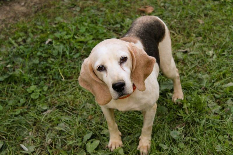 Adopt Charity on Petfinder Adoptable beagle, Beagle dog