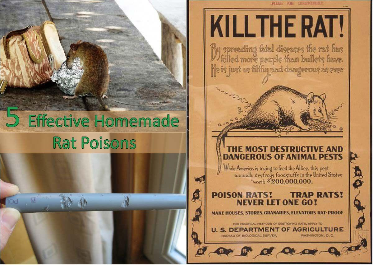 5 effective homemade rat poisons homemade rat poison