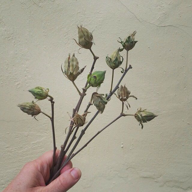Rose Of Sharon Seed Pods Alisonbuckfloraldesign Foraging