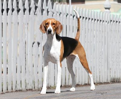 Skyline Kennel Club Day Two With Images Foxhound Dog American