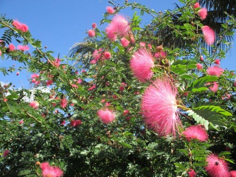 Powderpuff Tree Tree Bloom Flowers