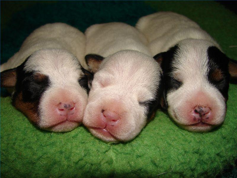 Small Newborn Basset Hound Puppies Pictures Newborn Puppies