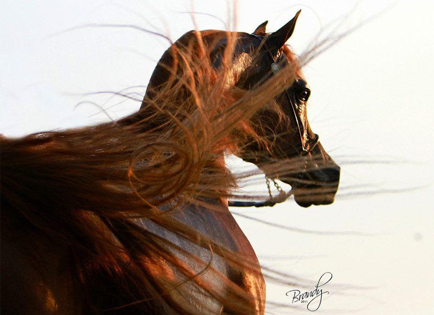 الخيل العربية من أذكى الخيول على الإطلاق ومن أطباعها الذاكرة وسعة الصدر والوفاء Arabian Horse Horses Animals