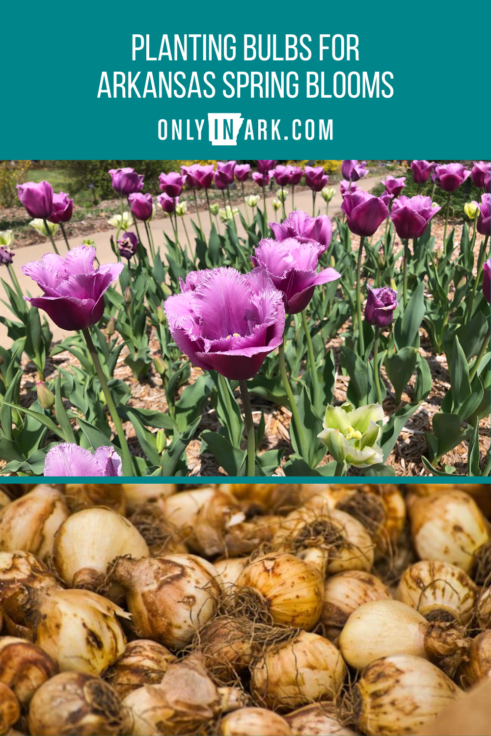 Planting Bulbs For Arkansas Spring Blooms In 2020 Planting Bulbs Spring Blooms Plants