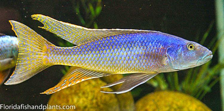 1 Champsochromis Caeruleus Malawi Trout 1 5 Inch African Live Fish Cichlids African Cichlids Live Fish