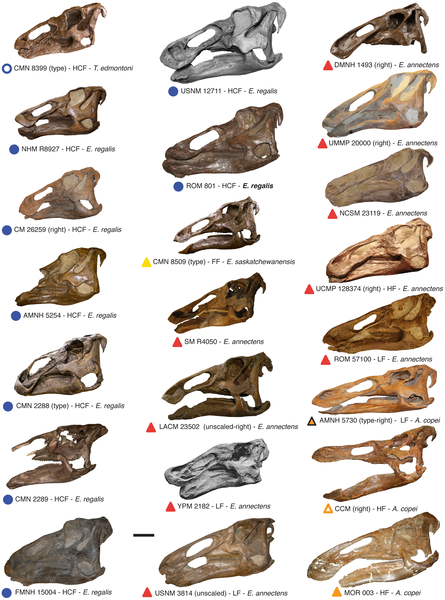 Figure 2            Compilation of virtually all known complete edmontosaur skulls from North America.