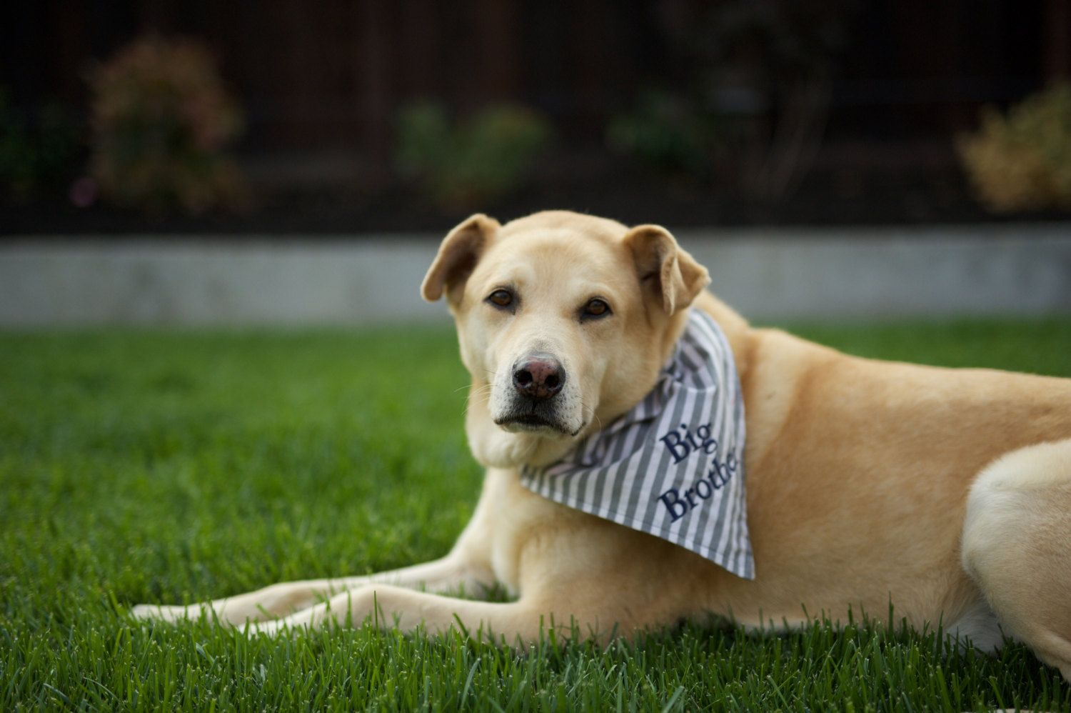 Big Brother Dog Bandana Reversible (2 for the price of 1
